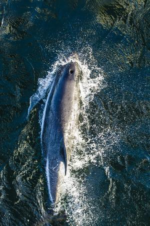 Adult Peale's Dolphin (Lagenorhynchus Australis) Bow-Riding