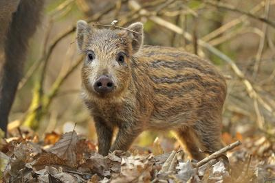 Wild Boar (Sus Scrofa) Piglet in Woodland Undergrowth, Forest of Dean, Gloucestershire, UK, March