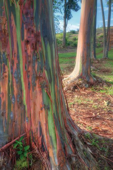 Rainbow Eucalyptus Grove Kauai Photographic Print By