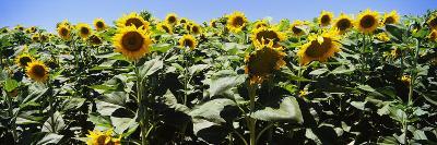 Sunflower Field, California, USA