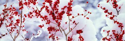 Holly Trees Kyoto Keihoku-Cho Japan