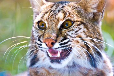 Close-Up of a Bobcat (Lynx Rufus)