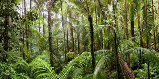 Trees In Tropical Rainforest, Eungella National Park