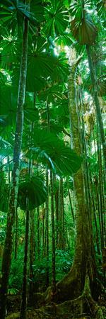 Fan Palm Trees in a Forest, Daintree National Park, Queensland, Australia