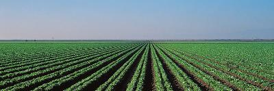 Lettuce Field San Joaquin Valley Fresno Ca USA