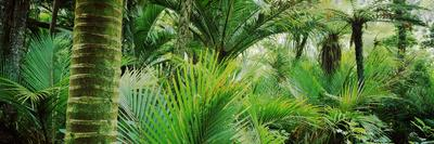 Nikau Palm Trees in a Forest, Kohaihai River, Oparara Basin Arches, Karamea, South Island