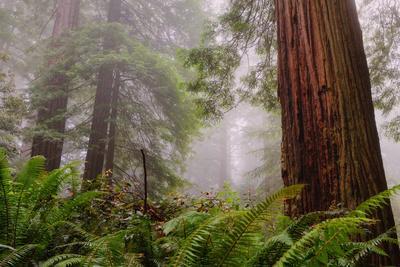 Fog and Redwood Grove, California Coast