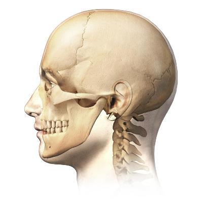 Male Human Head with Skull in Ghost Effect, Side View