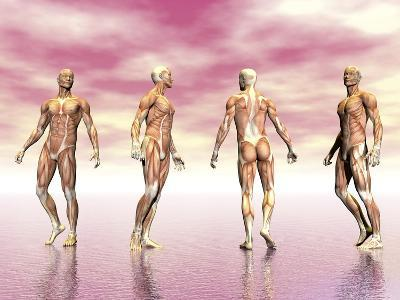 Male Muscular System from Four Points of View, Pink Background