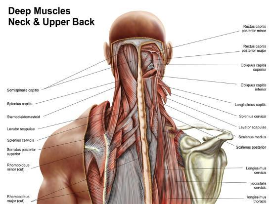Human Anatomy Showing Deep Muscles In The Neck And Upper