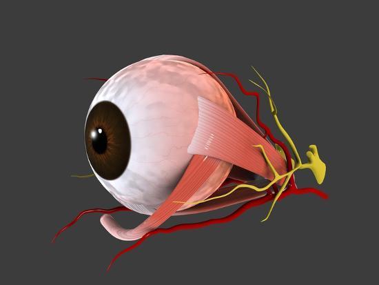 Conceptual Image Of Human Eye Anatomy Prints At Allposters