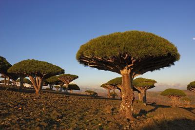 Dragon Tree (Dracaena Cinnabari), Socotra Island, Yemen, Middle East