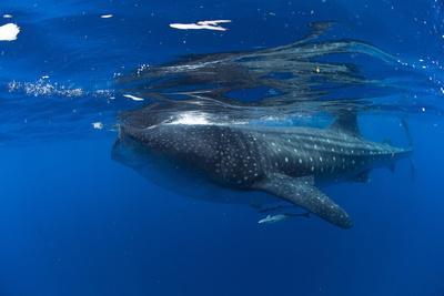 Whale Shark (Rhincodon Typus) and Suckerfish (Remora) (Echeneidae)