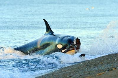 Orca (Orcinus Orca) Hunting South American Sea Lion (Otaria Flavescens)