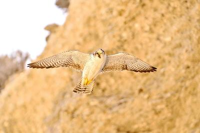 Austral Peregrine Falcon (Falco Peregrinus Cassini) Adult Female