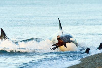 Orca (Orcinus Orca) Hunting South American Sea Lion (Otaria Flavescens) at Peninsula Valdes