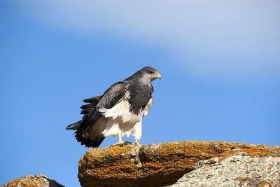Black Chested Buzzard Eagle (Geranoaetus Melanoleucus) Adult Female