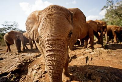Juvenile Elephants (Loxodonta Africana) at the David Sheldrick Elephant Orphanage