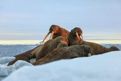 Last Rays of Evening Sun Striking a Group of Walrus (Odobenus Rosmarus)