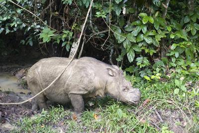 Male Sumatran Rhino (Borneo Rhino) (Dicerorhinus Sumatrensis)
