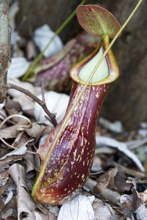 Lower Pitcher of the Carnivorous Pitcher Plant (Nepenthes Rafflesiana)