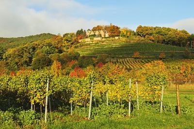 Kropsburg Castle and Vineyard Landscape