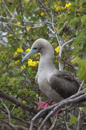 Red Footed Booby (Sula Sula) in Red Mangrove