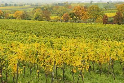 Vineyard Landscape, Near Neustadt, German Wine Route, Rhineland-Palatinate, Germany, Europe
