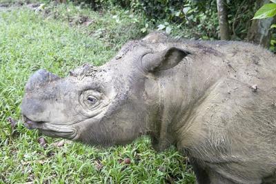 Male Sumatran Rhino (Borneo Rhino) (Dicerorhinus Sumatrensis) in Wallow