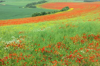 Red Poppies Field, Cote D'Opale, Region Nord-Pas De Calais, France