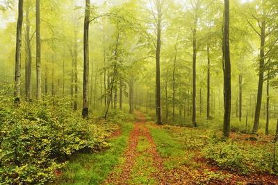 Beech Forest and Morning Fog, Hunsrueck, Rhineland-Palatinate, Germany, Europe