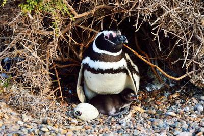 Magellanic Penguin (Spheniscus Magellanicu) Female