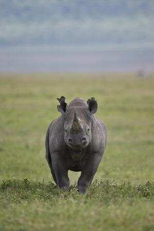 Black Rhinoceros (Hook-Lipped Rhinoceros) (Diceros Bicornis)