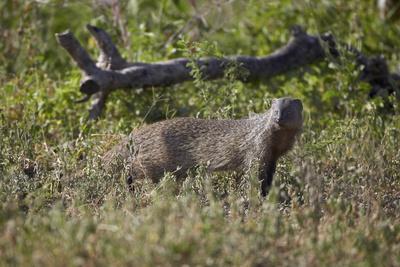 Marsh Mongoose (Water Mongoose) (Atilax Paludinosus)
