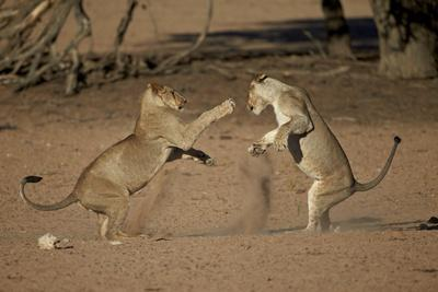 Two Young Lion (Panthera Leo) Playing
