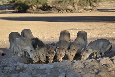 Lion (Panthera Leo) Family Drinking
