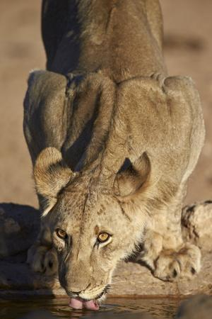 Lion (Panthera Leo) Cub Drinking