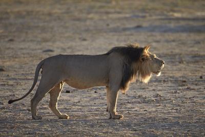 Lion (Panthera Leo) Roaring