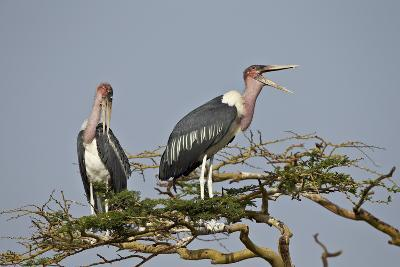 Marabou Stork (Leptoptilos Crumeniferus), Serengeti National Park, Tanzania, East Africa, Africa