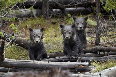 Three Grizzly Bear (Ursus Arctos Horribilis) Cubs of the Year