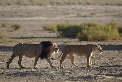 Lion (Panthera Leo) Pair