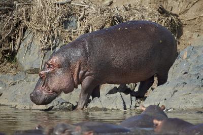 Hippopotamus (Hippopotamus Amphibius) Returning to the Water