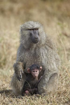Olive Baboon (Papio Cynocephalus Anubis) Infant and Mother