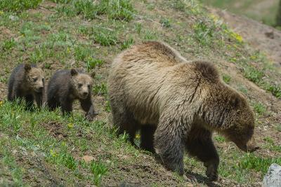 Twin Grizzly Bear Cubs Follow their Mother