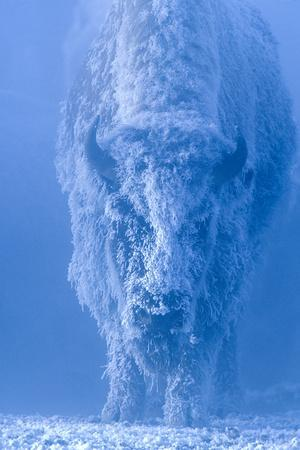 Portrait of a Female Buffalo or Bison with Frozen Snow on its Coat