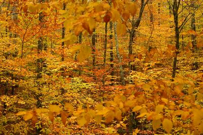 Fall Foliage in a Forest Near Cambridge, New York