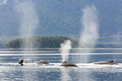 USA, Alaska, Seymour Canal. Blowing and diving humpback whales.
