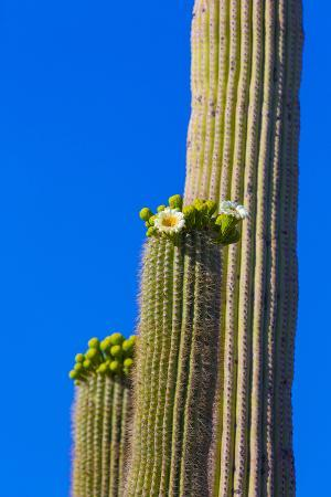 USA, Arizona, Tucson. Blooming cactus in Saquaro National Park.
