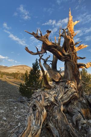 USA, California, Inyo National Forest. Bristlecone Pine Forest.