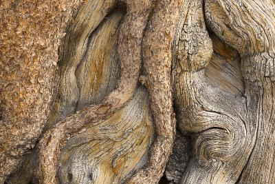 USA, California, Inyo National Forest. Gnarled pine tree trunk.